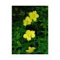 Hypericum hookerianum 'Hidcote' - Millepertuis