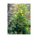 Hypericum inodorum x 'Arcadia' - Millepertuis
