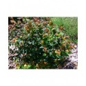 Hypericum inodorum x 'Magical Red Star'® - Millepertuis