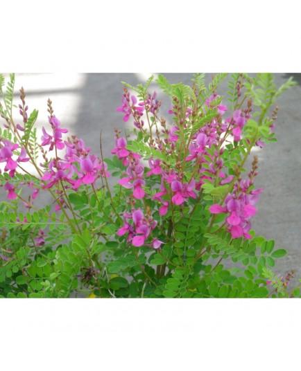 Indigofera heterantha - indigotier
