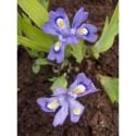 Iris cristata subsp. lacustris