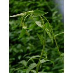 Jasminum beesianum -Jasmin rose