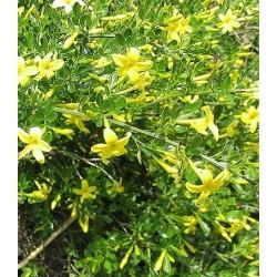 Jasminum fruticans - jasmin ligneux ou jasmin jaune
