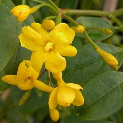 Jasminum humile 'Revolutum' - jasmins jaunes d'Italie,