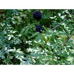 Jasminum nudiflorum 'Aureum' - jasmin panaché