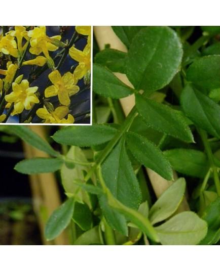 Jasminum nudiflorum - jasmins d'hiver,