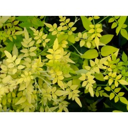 Jasminum officinale  'Fiona Sunrise'  - Jasmin officinal doré