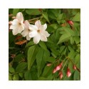 Jasminum officinale - Jasmin officinal, jasmins blancs