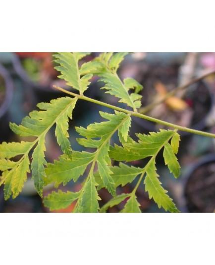 Juglans nigra 'Laciniata' - noyer noir lacinié
