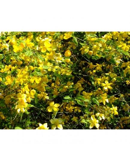 Kerria japonica 'Aureovariegata' - korète panachée