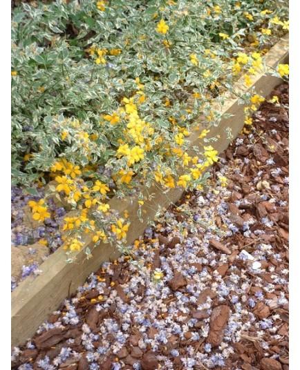 Kerria japonica 'Picta' - corète panachée