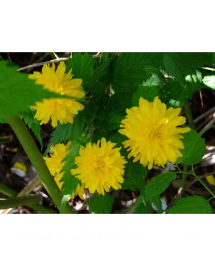 Kerria japonica 'Pleniflora' - Coréte du Japon