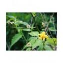 Kerria japonica 'Simplex' - Corète du Japon