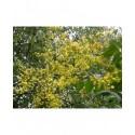 Koelreuteria paniculata  - faux Savonnier