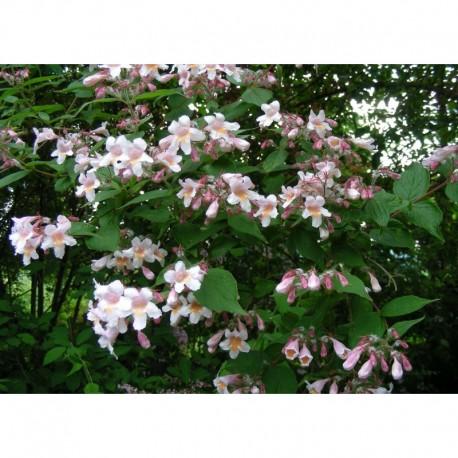 Kolkwitzia amabilis 'Pink Cloud' - Buisson De Beauté