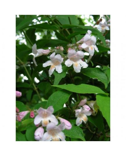 Kolkwitzia amabilis - Buisson de Beauté