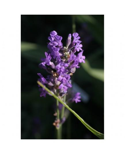 Lavandula angustifolia 'Dwarf Blue' - Lavande officinale