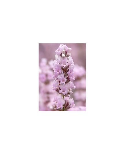 Lavandula angustifolia 'Rosea' - Lavande rose