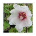 Lavatera clementii x 'Barnsley' - lavatère en arbre, lavatère arbustive,