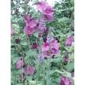 Lavatera clementii x 'Bredon Springs' - Lavatère arbustive