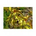 Leycesteria formosa 'Golden Lanterns' ® - arbre aux lanternes doré, Chèvrefeuille de l'Himalaya