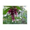 Leycesteria formosa 'Purple Rain' - Arbre Aux Faisans