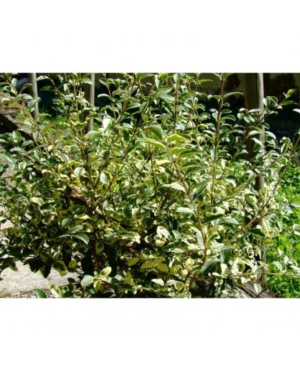 Ligustrum ibota 'Musli'®- troène panaché