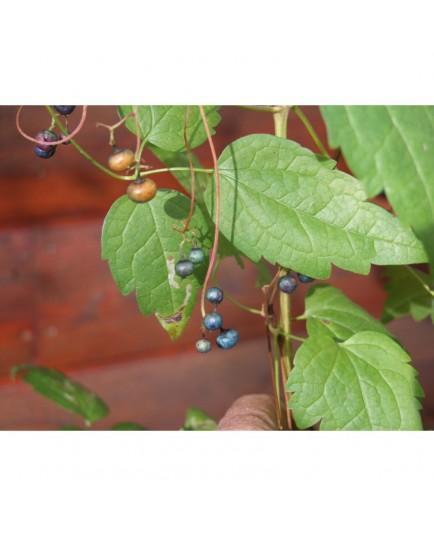 Ampelopsis aconitifolia - Vigne Vierge à feuille d'Aconit