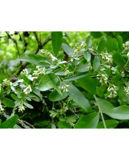 Ligustrum obtusifolium 'Forescate' - Troène