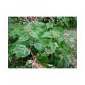 Ampelopsis glandulosa f. elegans - Vigne Vierge