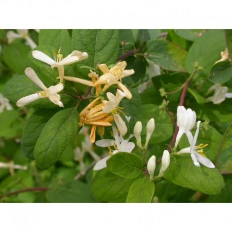 Lonicera bella x 'Chrysantha' - Chèvrefeuilles