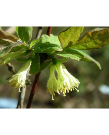 Lonicera caerulea var. edulis - Baie de Mai, chèvrefeuille de l'Amour