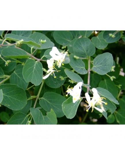 Lonicera floribunda - Chèvrefeuilles