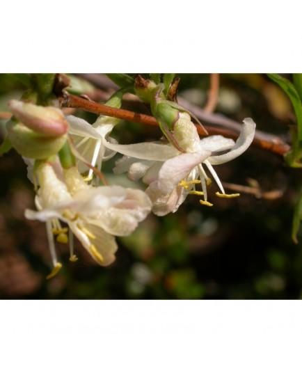 Lonicera fragrantissima - chèvrefeuille trés odorant