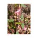 Lonicera gracilipes var. grandis - Chèvrefeuilles