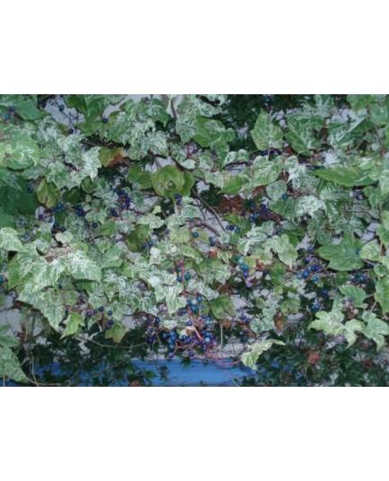 Ampelopsis glandulosa var brevipedunculata - Vigne Vierge