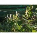 Lonicera japonica 'Hall's Prolific' - chèvrefeuille grimpant