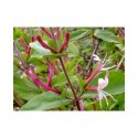 Lonicera japonica 'Red World' - Chèvrefeuilles grimpants