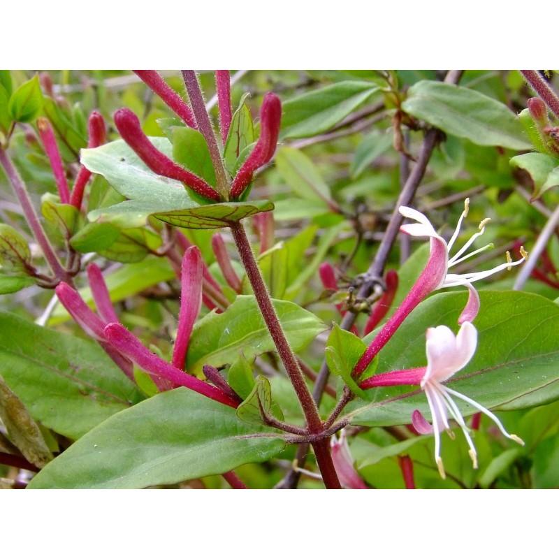 une plante Martin 25 janvier trouvée par Martine et Ajonc Lonicera-japonica-red-world-chevrefeuilles-grimpants