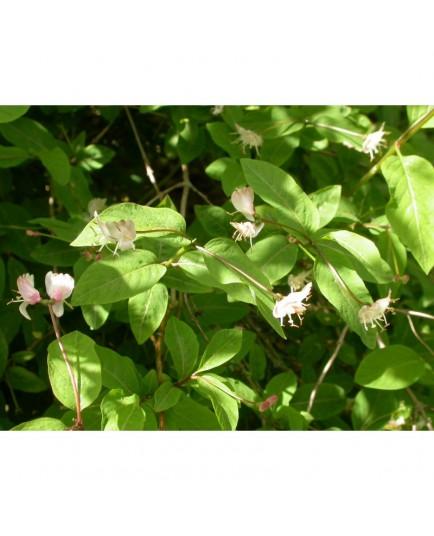 Lonicera nigra - Chèvrefeuille camérisier noir