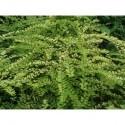 Lonicera nitida 'Baggesen's Gold' - Chèvrefeuille arbustif