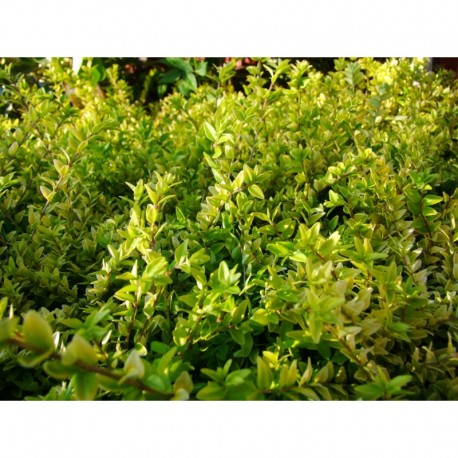 Lonicera nitida  'Golden Glow' - Chèvereuille couvre sol