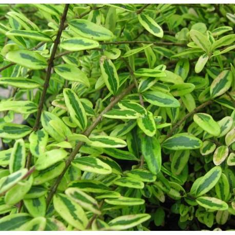 Lonicera nitida  'Lemon Beauty' - Chèvrefeuilles panachés