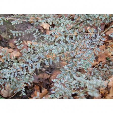 Lonicera nitida 'Silver Beauty' - Chèvrefeuilles