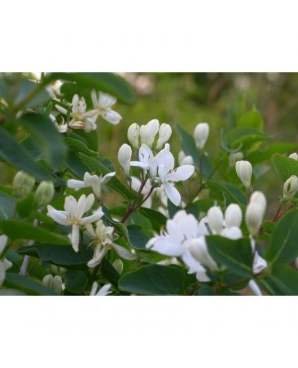Lonicera parvifolia - Chèvrefeuilles