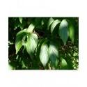 Lonicera salicifolia - Chèvrefeuille à feuille de saule