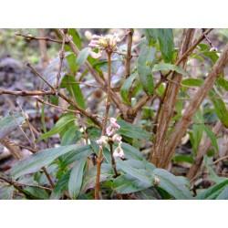 Lonicera standishii var.lancifolia - chèvrefeuille d'hiver