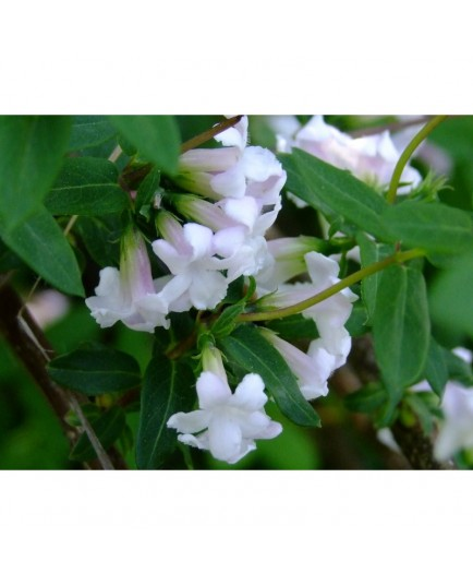 Lonicera syringantha - Chèvrefeuille à fleur de lilas