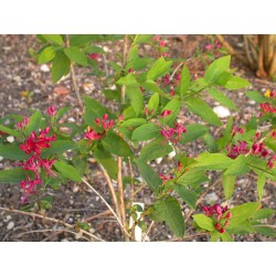 Lonicera tatarica 'Arnold's Red' - Chèvrefeuilles de Tatarie