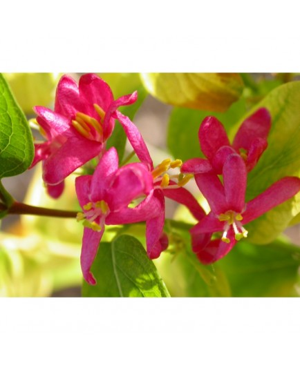 Lonicera tatarica 'Hack's Red' - Chèvrefeuilles des Tatars
